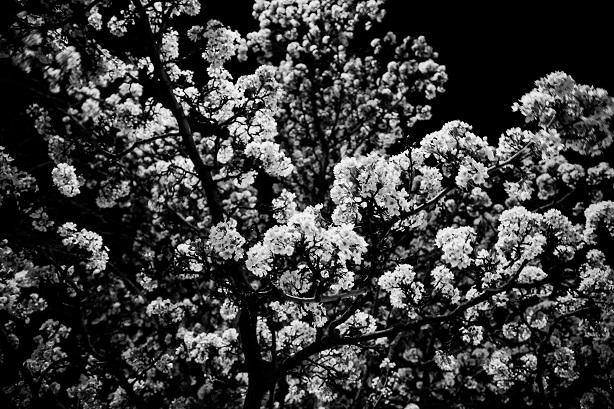 Cerisier en fleurs noctambules dans les rues d'Akron, Ohio.