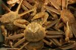 Crabe des neiges: Quand la mer se dégèle