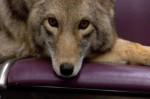 Y'a un coyote dans le métro: le nouveau clip super mignon de Modest Mouse